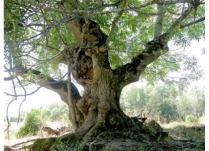 Arbori care ne imbogatesc viata: Frasinul